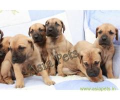 Great Dane Puppy For sale In Indore Best Price