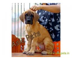 Great Dane Puppy For sale In Mysore Best Price