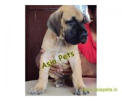 Great Dane Puppy For sale In Nashik Best Price