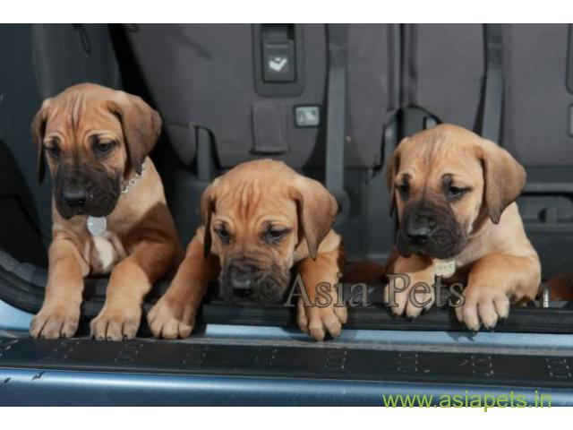 Great Dane Puppy For sale In Patna Best Price