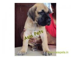 Great Dane Puppy For sale In Surat Best Price