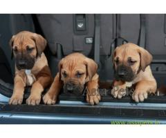 Great Dane Puppy For sale In Vadodara Best Price