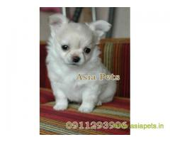 Chihuahua puppy for sale in Agra, Best Price Offer