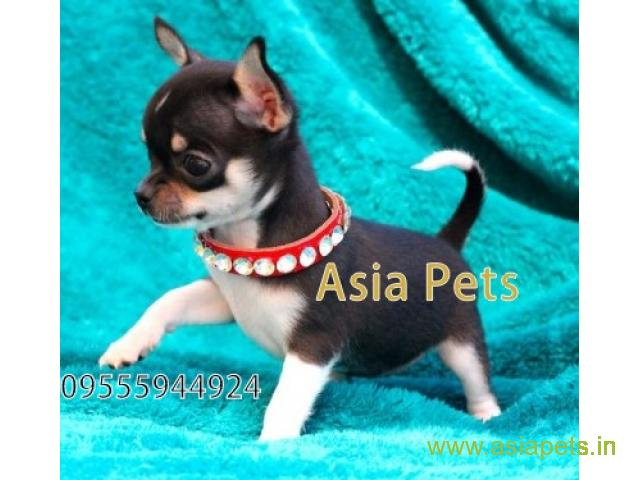 Chihuahua Puppy For Sale In Jaipur Best Price Offer