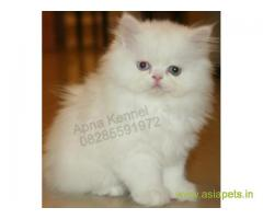 Persian kitten  for sale in Kanpur at best price
