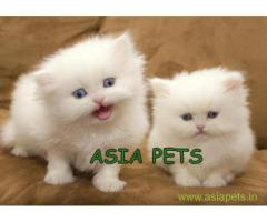Persian kitten  for sale in Nagpur at best price