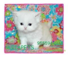Persian kitten  for sale in Nashik at best price
