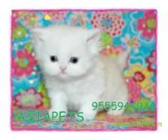 Persian kitten  for sale in Nashik at best price