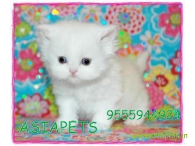 Persian kitten  for sale in rajkot best price