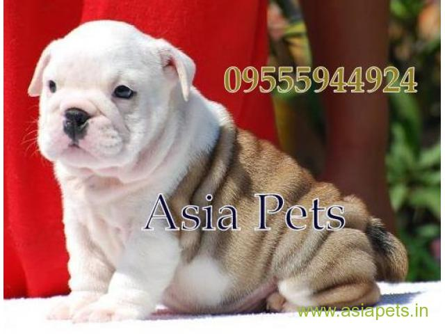 Bulldog for sale in indore at best price