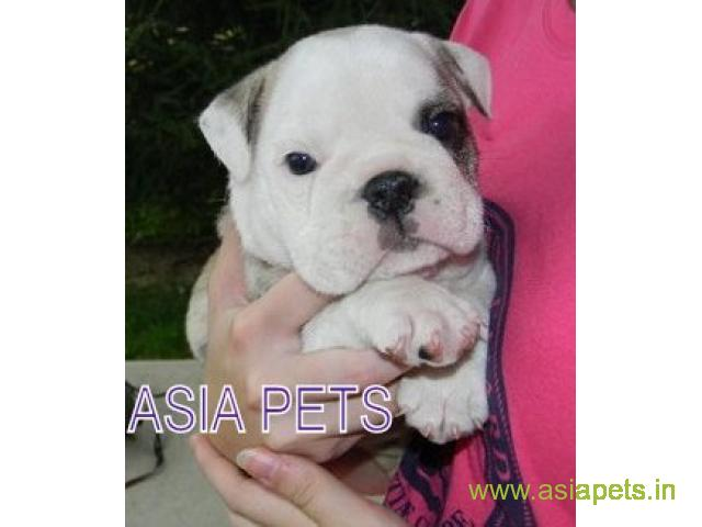 Bulldog  for sale in Kolkata at best price