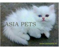 Persian cats  for sale in Dehradun Best Price
