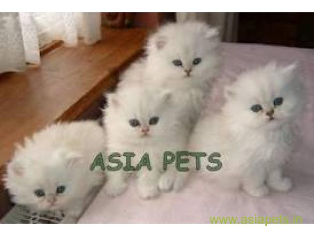 Persian cats for sale in Nashik Best Price