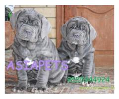 Nepolitan Mastiff puppies for sale in Delhi at best price