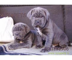 Nepolitan Mastiff puppies for sale in Faridabad at best price