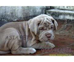 Nepolitan Mastiff puppies for sale in indore at best price
