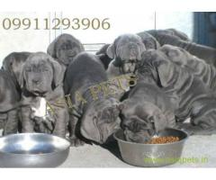 Nepolitan Mastiff puppies  for sale in Kolkata at best price