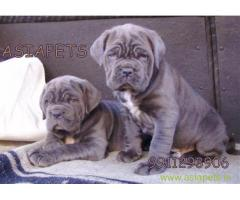 Nepolitan Mastiff puppies for sale in pune at best price