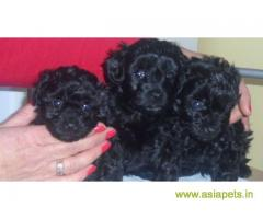 poodle puppies for sale in Bangalore at best price