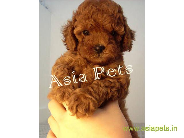 poodle puppies for sale in Bhopal at best price