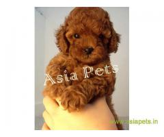 poodle puppies for sale in Hyderabad at best price