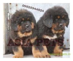 Tibetan Mastiff for sale in Agra Best Price
