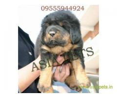 Tibetan Mastiff for sale in Bhubaneswar Best Price