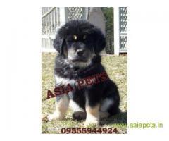 Tibetan Mastiff for sale in Chennai Best Price