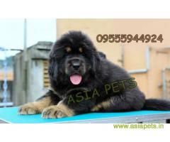 Tibetan Mastiff for sale in Coimbatore Best Price