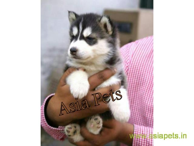 Siberian Husky Puppy For Sale In Chennai At Best Price