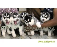 Siberian husky puppy for sale in Coimbatore at best price