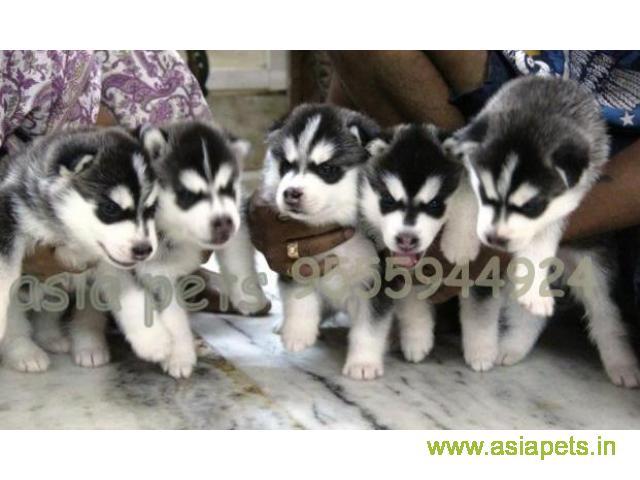 Siberian husky puppy for sale in Delhi at best price