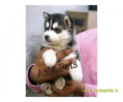 Siberian husky puppy for sale in Faridabad at best price