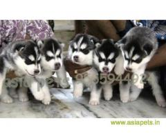 Siberian husky puppy for sale in Hyderabad at best price