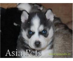 Siberian husky puppy for sale in kochi at best price