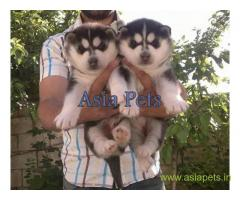Siberian husky puppy for sale in Mumbai at best price