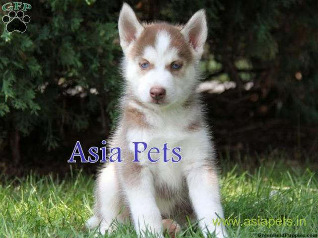 Siberian husky puppy for sale in patna at best price