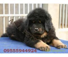 Tibetan Mastiff for sale in Ghaziabad Best Price