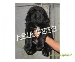 Tibetan Mastiff for sale in Kolkata Best Price