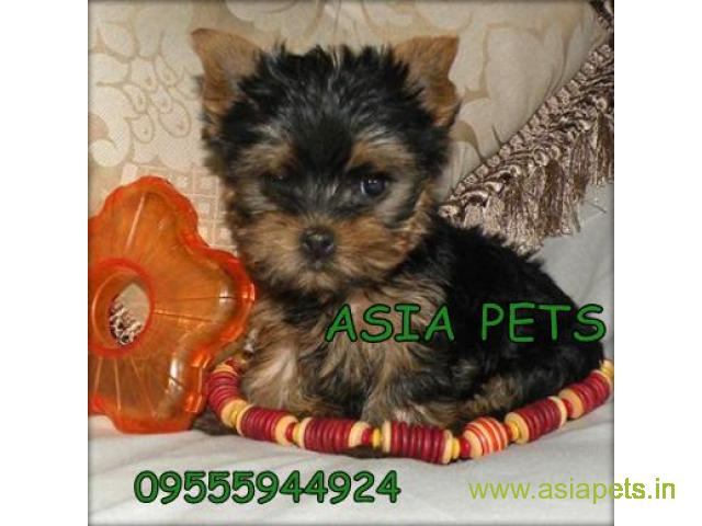 Yorkshire terrier puppy  for sale in Bangalore Best Price