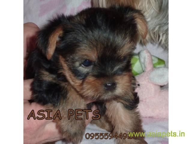 Yorkshire terrier puppy  for sale in Hyderabad Best Price