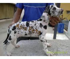 Harlequin great dane puppy for sale in Lucknow at best price