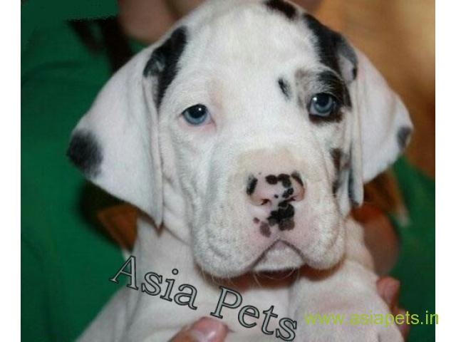 Harlequin great dane puppy for sale in patna low price