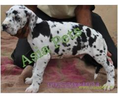 Harlequin great dane puppy for sale in  vizag low price