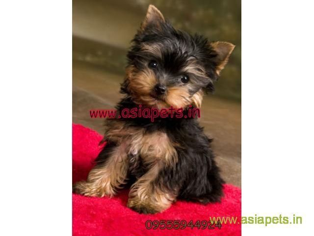 Yorkshire terrier puppy  for sale in surat Best Price