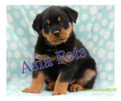 Rottweiler puppy  for sale in Agra Best Price