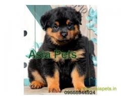 Rottweiler puppy  for sale in Ahmedabad Best Price
