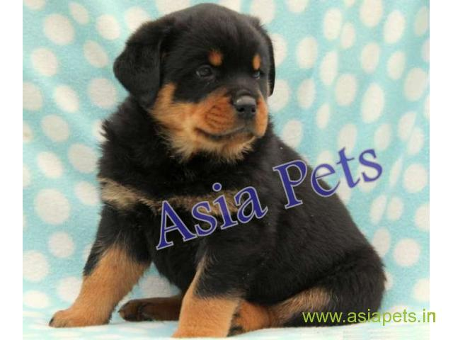 Rottweiler puppy  for sale in Bangalore Best Price