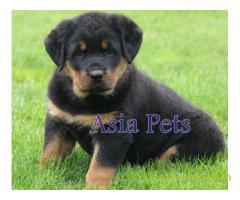 Rottweiler puppy  for sale in Bhopal Best Price