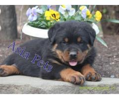 Rottweiler puppy  for sale in Bhubaneswar Best Price